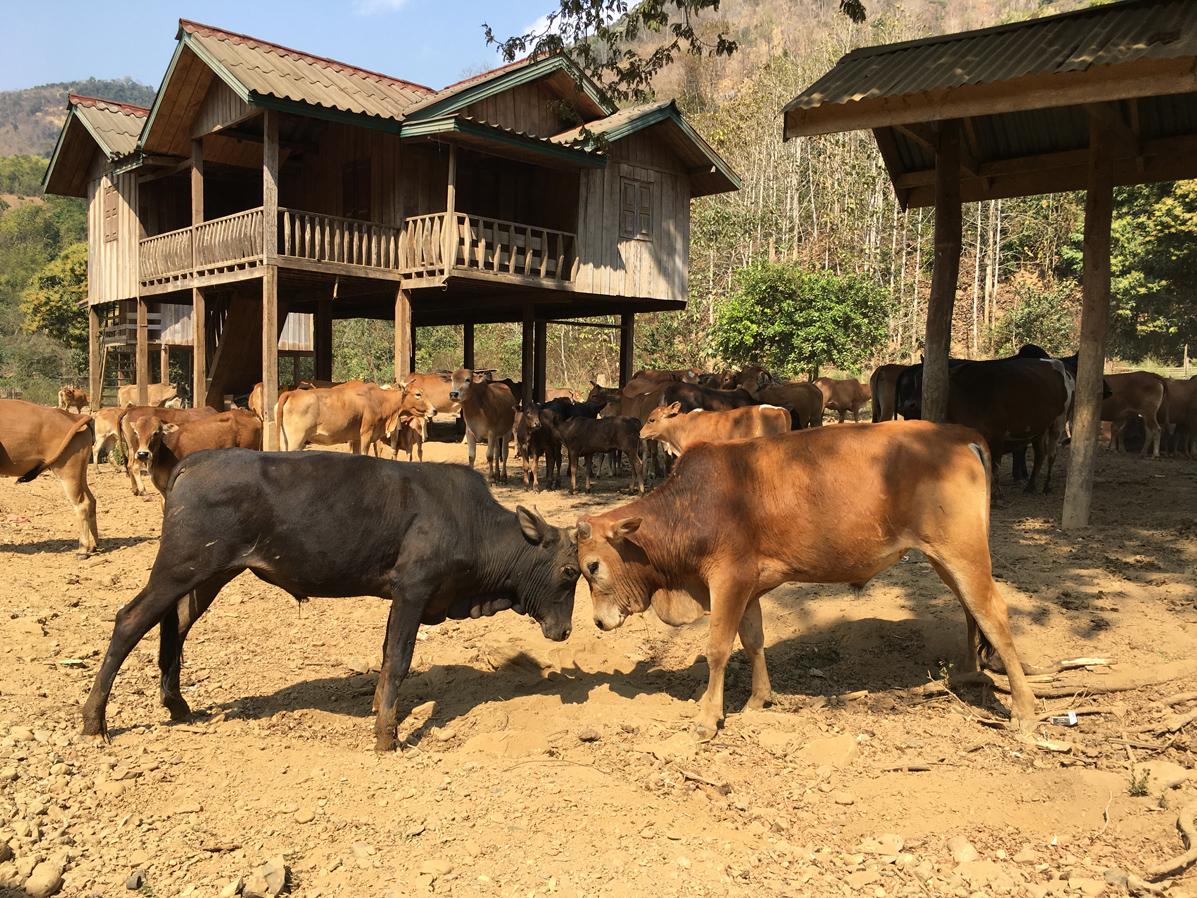 Kuh, Dorf, Reisen, Blog, Laos